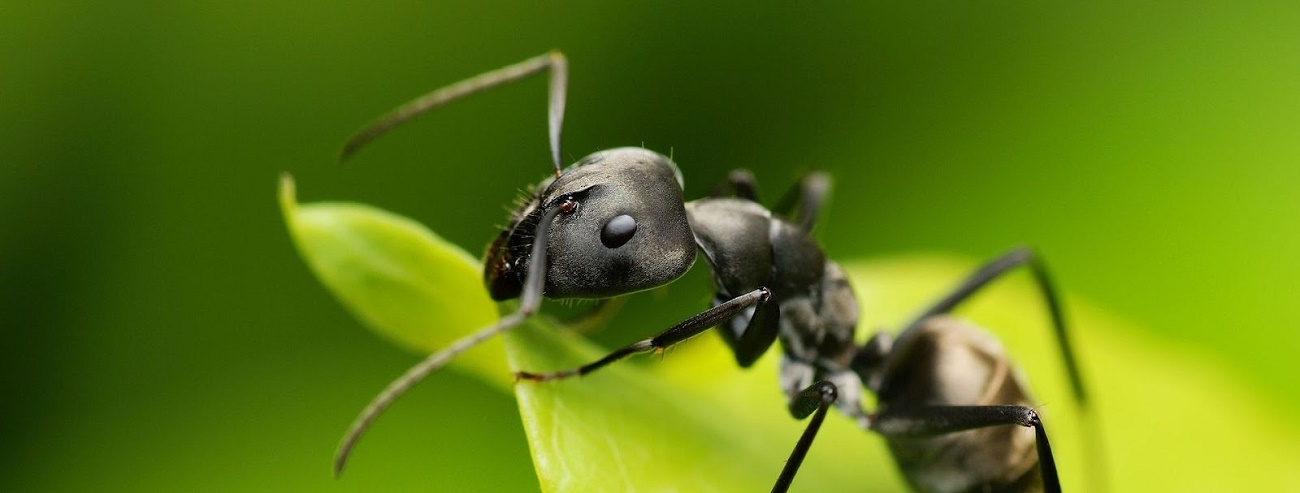 La época de plaga de hormigas