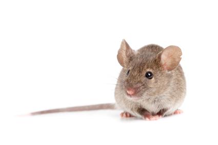 Como controlar a cucarachas y roedores